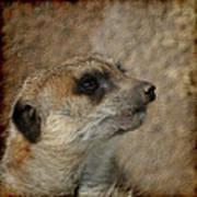 Meerkat 3 Art Print by Ernie Echols