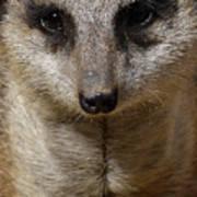 Meerkat Looking At You Art Print
