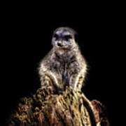 Meerkat Lookout Art Print
