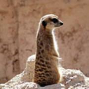 Meerkat Standing On Rock And Watching Art Print