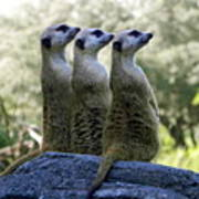 Meerkats On The Lookout Art Print