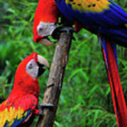 Meeting Of The Macaws  Art Print