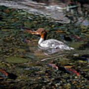 Merganser And Spawning Salmon - Odell Lake Oregon Art Print