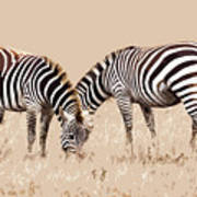 Merging Zebra Stripes Art Print