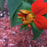 Mexican Sunflower In Mid Bloom Art Print