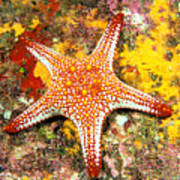 Mexico, Gulf Sea Star Art Print