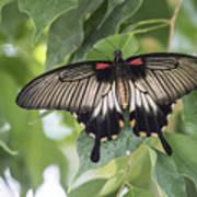 Midland Moth Art Print