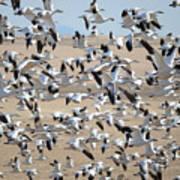 Migrating Snow Geese Art Print