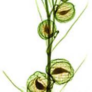 Milkweed, Gomphocarpus Physocarpus Art Print
