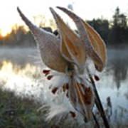 Milkweed Pods Seeds Art Print