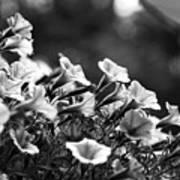 Mill Hill Inn Petunias Black And White Art Print