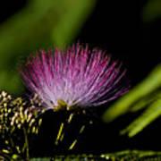 Mimosa Tree Bloom Art Print