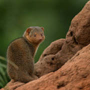 Mini Mongoose Print by Joseph G Holland