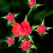 Mini Roses Art Print