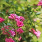Miniature Fuchsia Roses Art Print