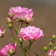 Miniature Pink Roses Art Print