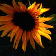 Miniature Sunflower Art Print