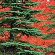 Minnesota Autumn Spruce Maple Art Print