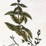 Mint Plant, 1735 Art Print