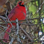 Mister Cardinal Art Print