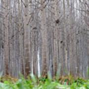 Mistery Poplars Woods  Art Print