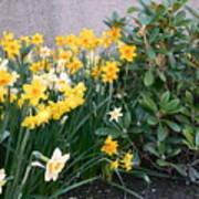 Mixed Daffodils Art Print