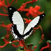 Mocker Swallowtail Art Print