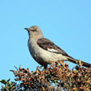 Mockingbird . 7682 Art Print by Wingsdomain Art and Photography
