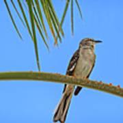 Mockingbird In A Palm Tree Art Print