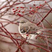 Mockingbird In Winter Rose Bush Art Print