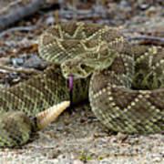 Mohave Green Rattlesnake Striking Position 3 Art Print
