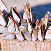 Mollusks On Wood Plank Art Print