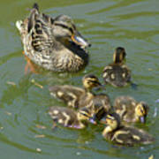 Momma Duck With Babies Art Print