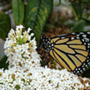 Monarch And The Butterfly Bush  Art Print