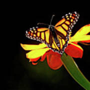 Monarch And Tithonia Light And Shadow Art Print