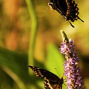 Monarch Butterflies In Spring At Wakulla Springs Art Print