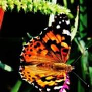 Monarch Butterfly # 2 Art Print