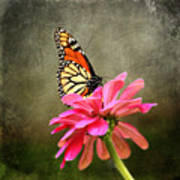 Monarch Butterfly And Pink Zinnia Art Print