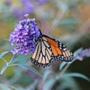Monarch Butterfly And Purple Flowers Art Print