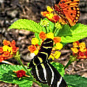 Monarch Butterfly And Zebra Butterfly Art Print