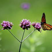 Monarch Butterfly Balanced 2017 Art Print