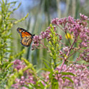 Monarch Butterfly In Joe Pye Weed Art Print