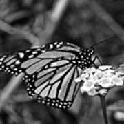 Monarch Butterfly. Art Print