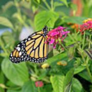 Monarch Butterfly On A Flower  Art Print