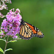 Monarch Butterfly On Butterfly Bush 2011 Art Print