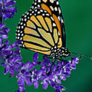 Monarch Butterfly On Flower Blossom Art Print