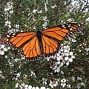 Monarch Butterfly On New Zealand Teatree Bush Art Print
