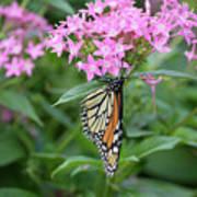 Monarch Butterfly On Pink Flowers  Art Print