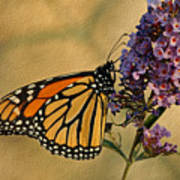 Monarch Butterfly Art Print by Sandy Keeton