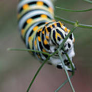 Monarch Caterpillar Clutches Dill In Pincers, Macro Art Print